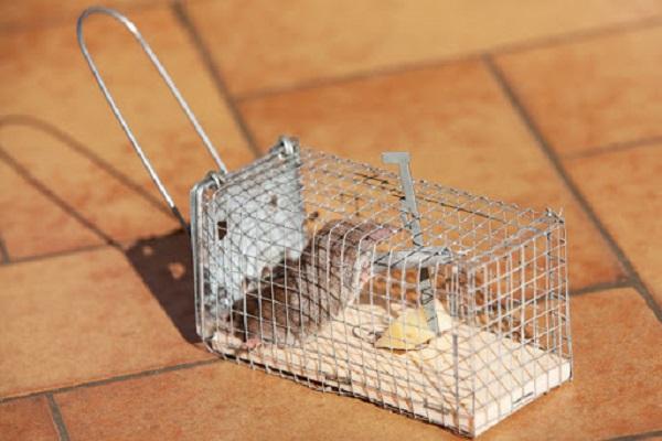 Cách diệt chuột trong nhà bằng bẩy chuột và thả chuột