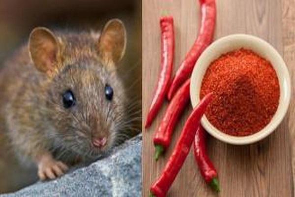Cách đuổi chuột trong bằng Ớt Bột